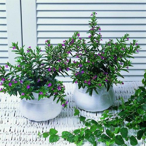 kambariniai augalai nuo hipertenzijos