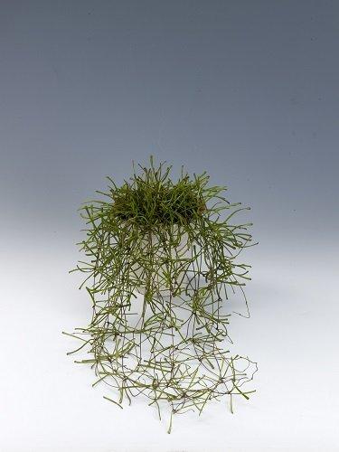 Būkite atsargūs: šie populiarūs kambariniai augalai pavojingi sveikatai - DELFI Gyvenimas