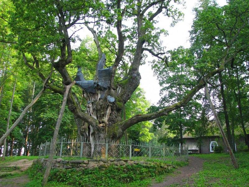 Ąžuolas – Lietuvos miškų valdovas