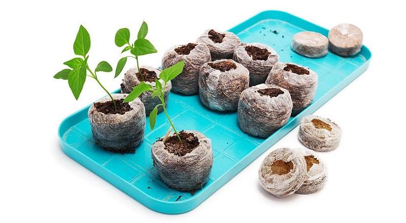 Daigų auginimas durpių tabletėse