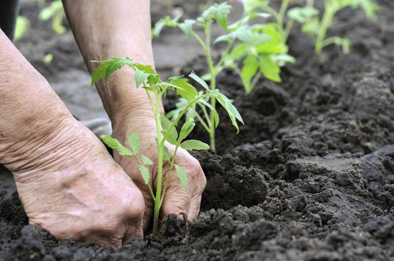 Kokias daržoves ir kada sėsime gegužę?
