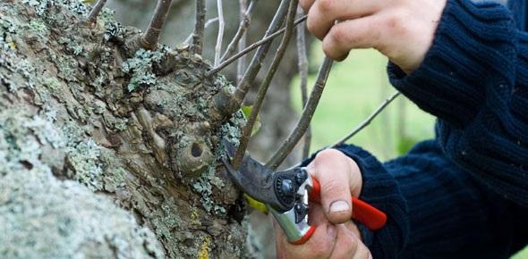 5 patarimai, kaip genėti sodo vaismedžius