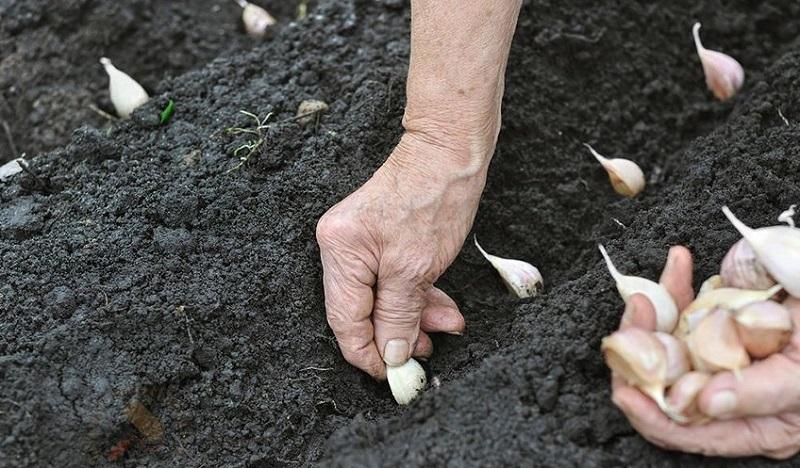 Dėmesio: metas sodinti vasarinius česnakus