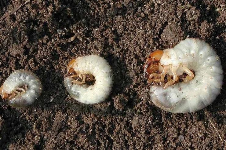 Galvos skausmas - daržo siaubūnai grambuoliai