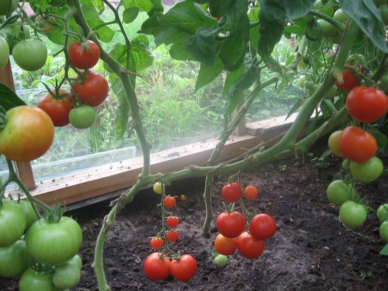 pomidorai ir hipertenzija maisto receptai sergant hipertenzija