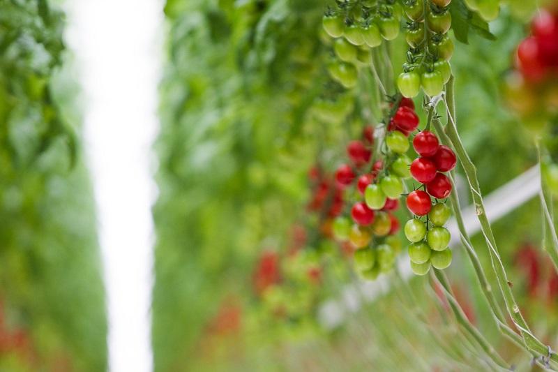 Ką vertėtų atsiminti persodinant daigus į dirvą?