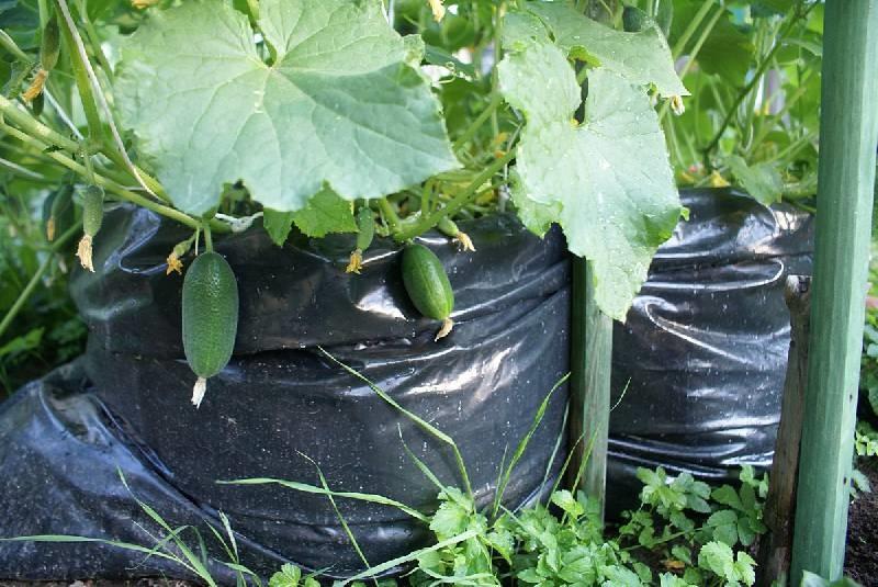 Kaip auginsime agurkus: maišuose ar statinėse?