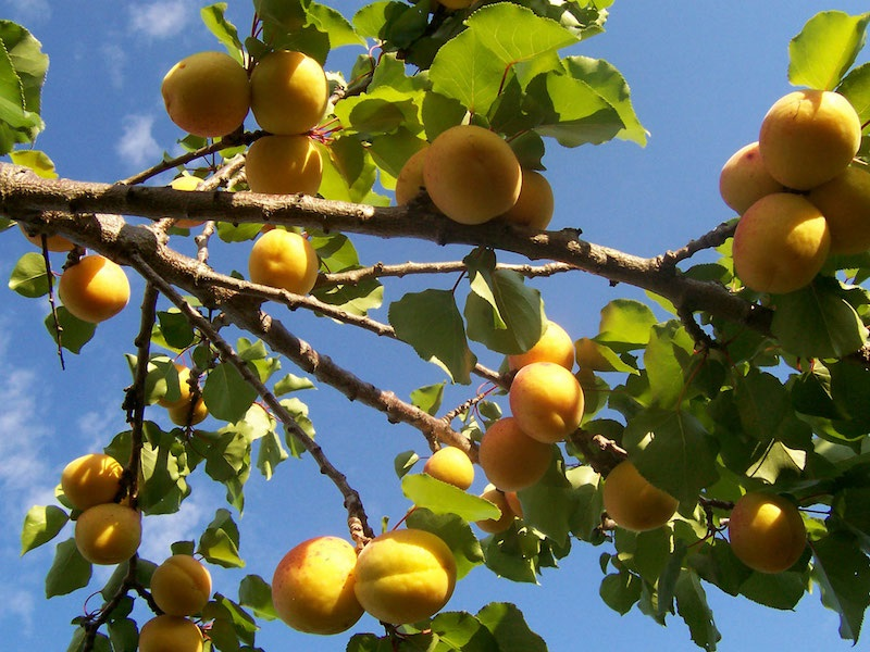 abrikosas sergant hipertenzija
