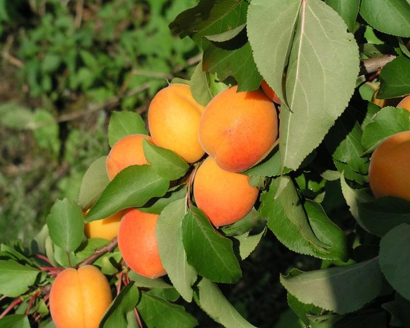 Klimatas keičiasi - gal pasisodinti abrikosų?