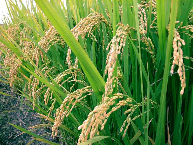 Perkate ryžius? Įsitikinkite, ar jie nėra užteršti