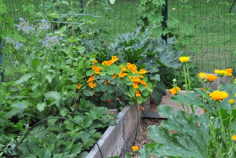 Daržo sanitarai: boružės, rupūžės, medetkos