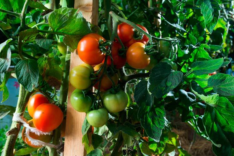 Pomidoruose randamas antioksidantas mažina kraujospūdį | ingridasimonyte.lt