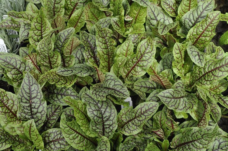 Rūgštynės – nepamainoma ir vertinga daržo rūgštelė
