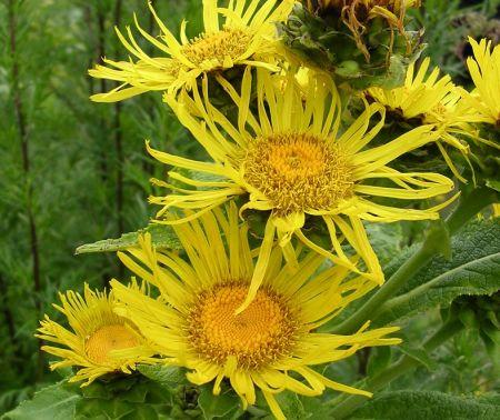 Daržas be chemijos: augalai saugo vieni kitus
