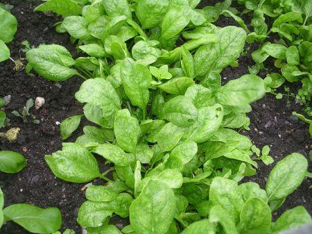 Pradėkite ruoštis rudeniniam špinatų derliui