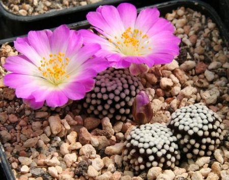 Kaktusai. Po baltų pūkų aureole