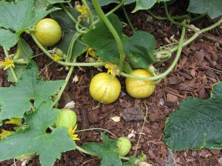 Nusibodo agurkai? Auginkite citrininius agurkus
