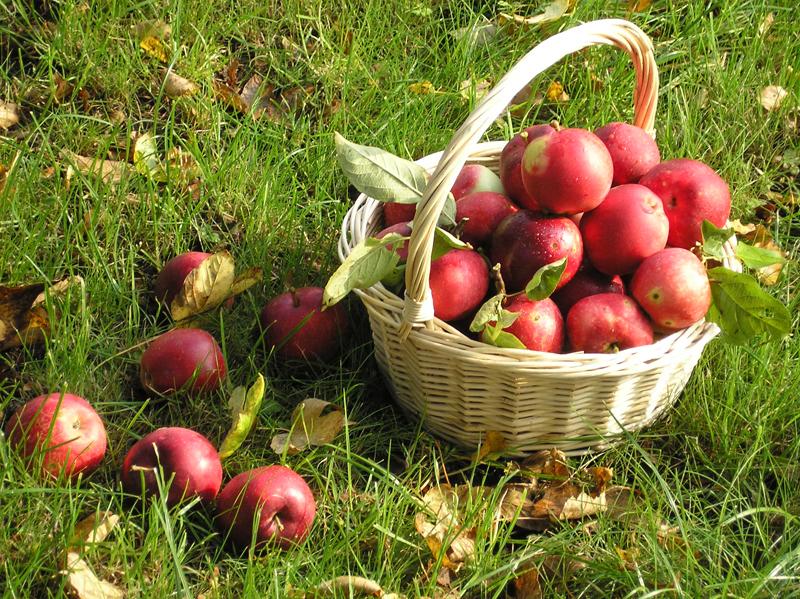Prognozės išsipildė – šakos nuo obuolių nelūžta