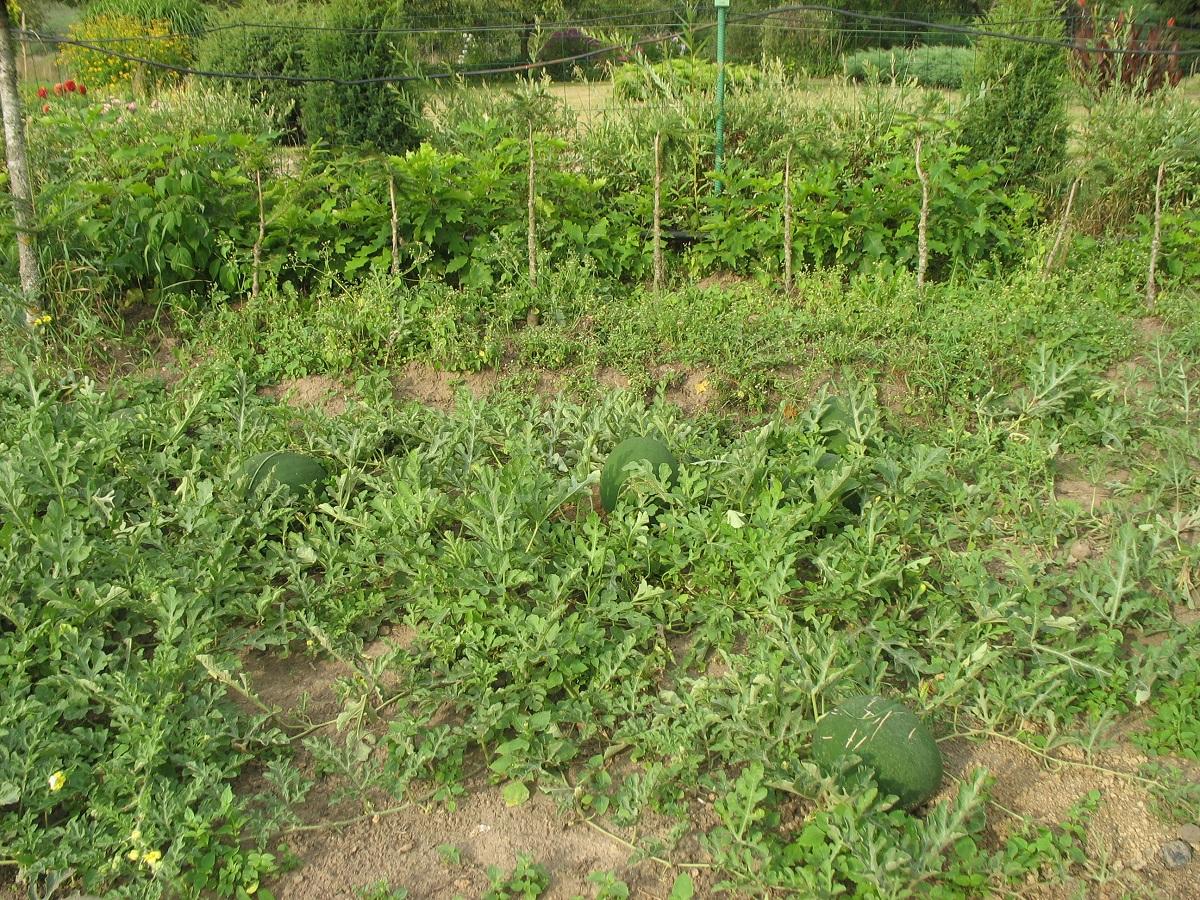 Lietuviškų arbūzų augintoja stebisi šiųmečiu derliumi