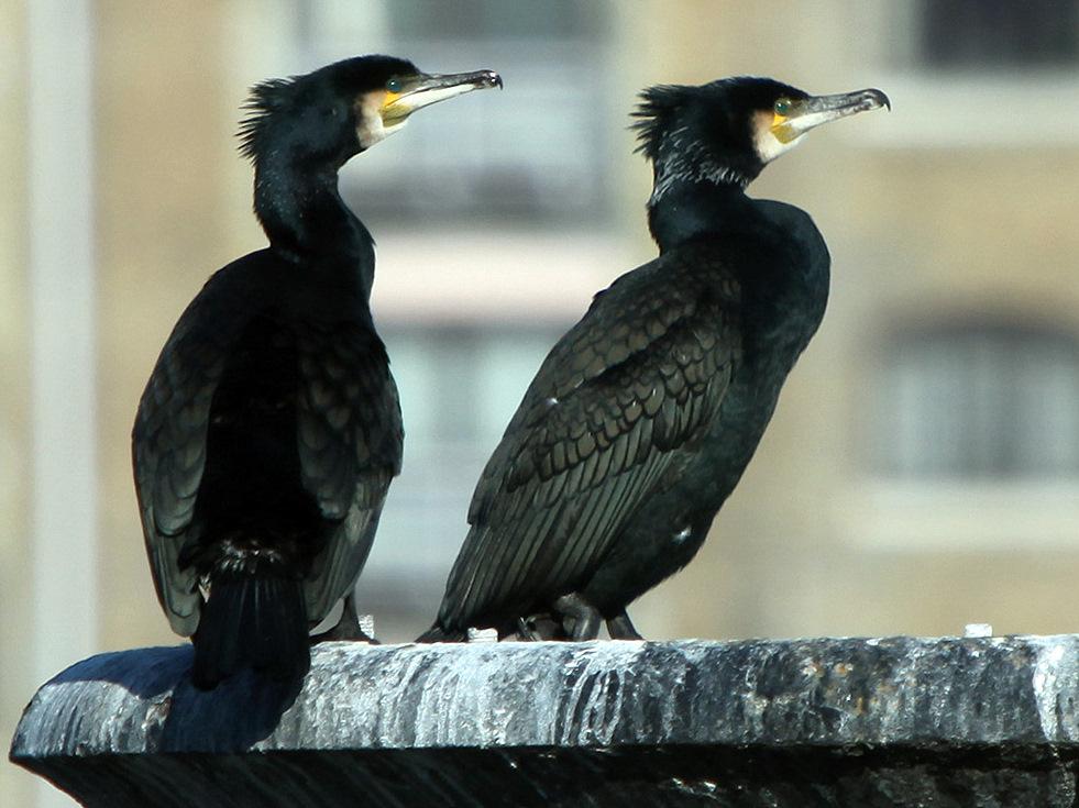 Aistros dėl kormoranų ir kitų atvykėlių