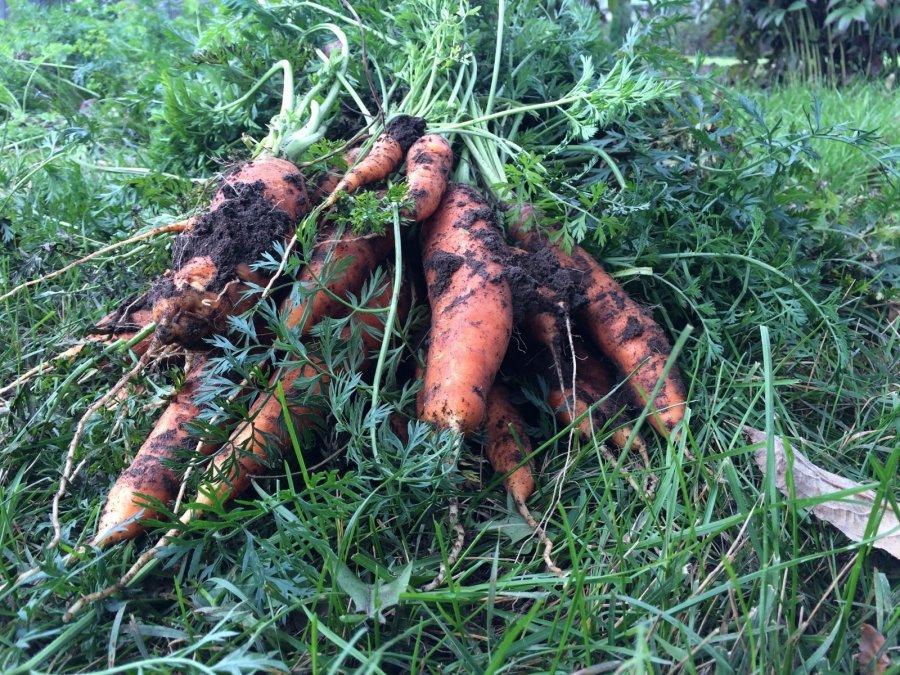 Kokios daržovės gali žiemoti ir daržo lysvėje?