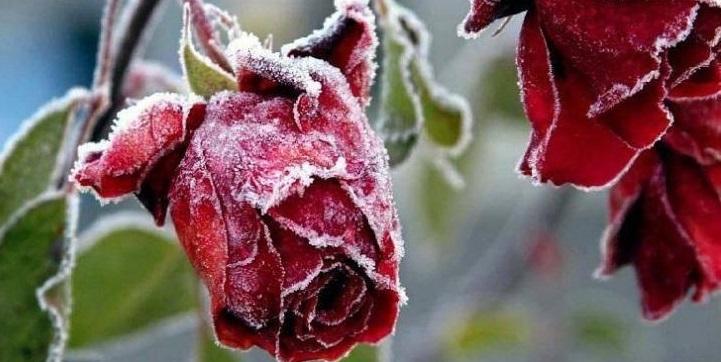 Kuo uždengti sodo augalus nuo šalčių?