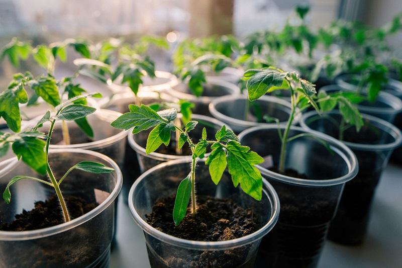 Pakvips pavasariu: ruoškitės auginti pomidorus