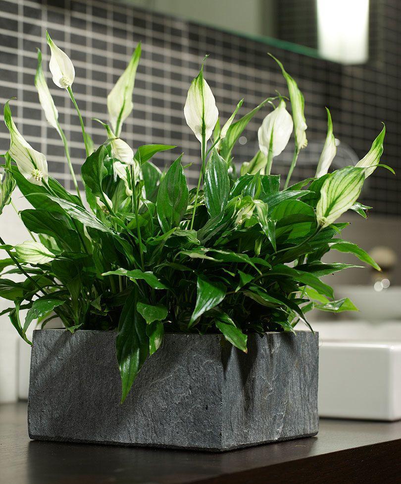 Naktibaldoms: augalai, padėsiantys jums išsimiegoti