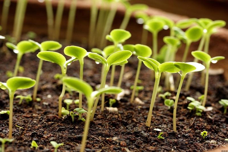 15 didžiausių daigų auginimo klaidų