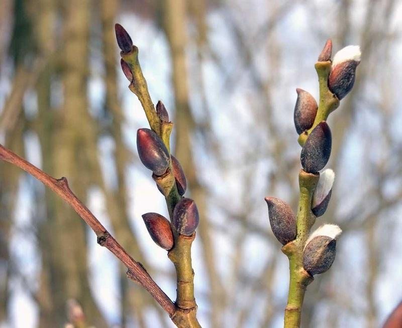 Pirmieji pavasario vaistai  – iš pumpurų
