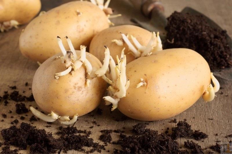 Bulvių daiginimas prieš sodinimą. Ką reikia žinoti?