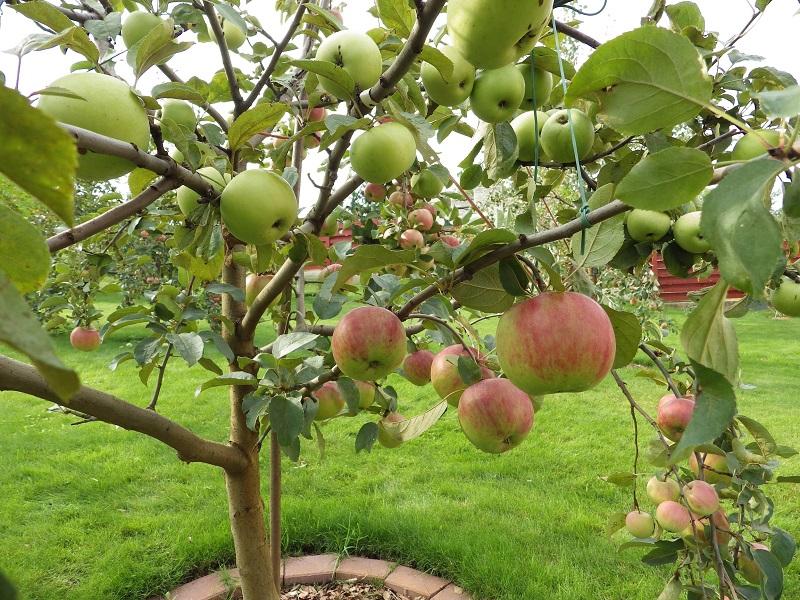 Ant vieno medžio – vasariniai ir žieminiai vaisiai