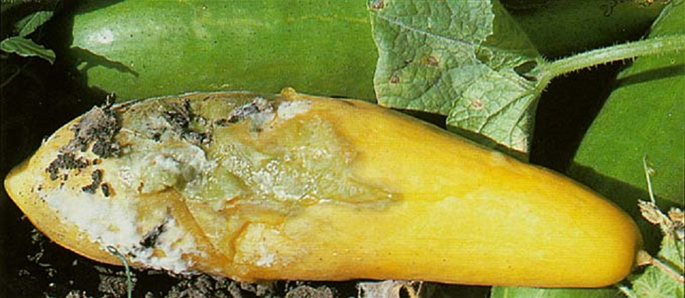 Cukinijų derlius: pavojai, ligos ir naudingi patarimai