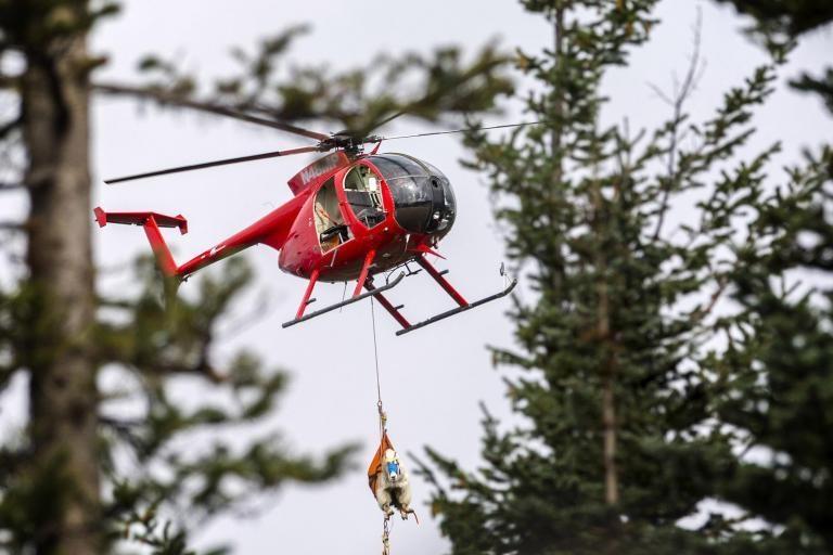 JAV iš nacionalinio parko sraigtasparniais išgabenamos lankytojus skriaudžiančios kalnų ožkos