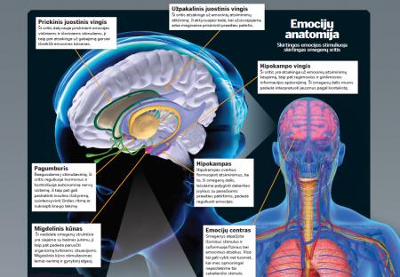 Skirtingos emocijos stimuliuoja skirtingas smegenų sritis