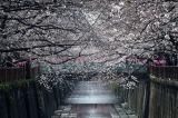 Pamatykite: Japonijoje pusmečiu anksčiau sužydėjo sakuros