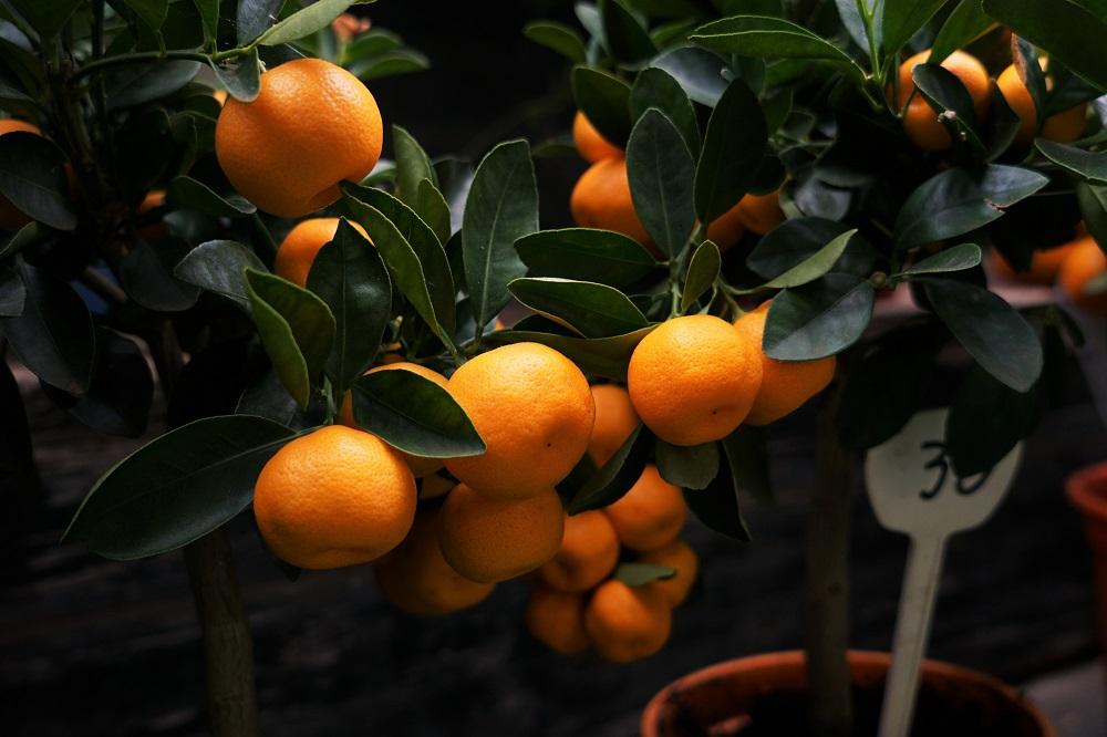Patarimas: kaip prižiūrėti mandarinų medelį?