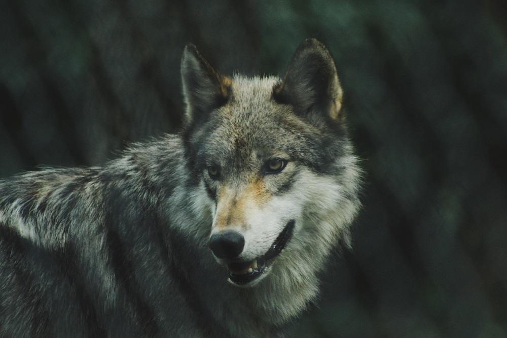Vilkai laukinėje gamtoje: ką reiškia būti šių puikių plėšrūnų gaujos nariu?