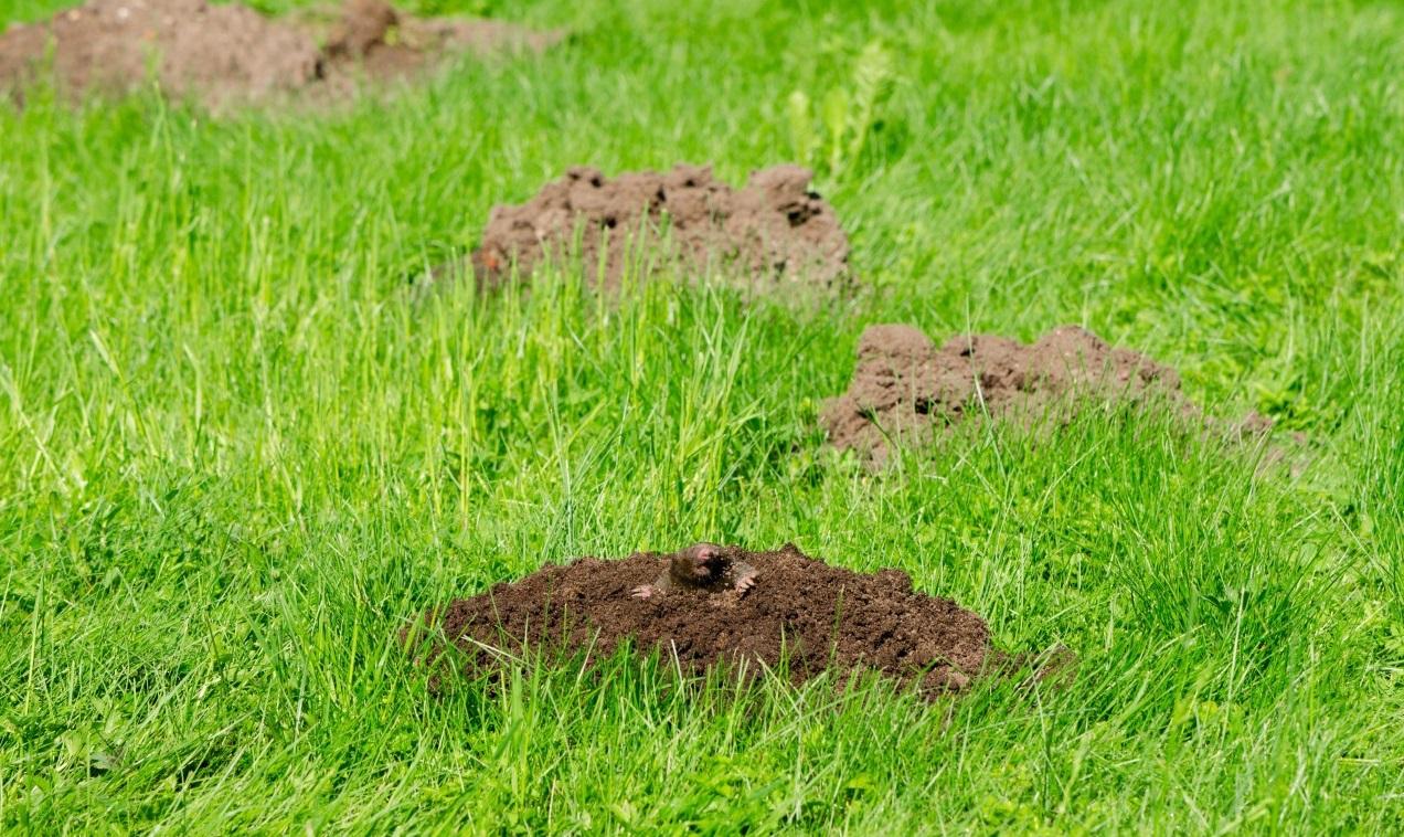 Kas rausia urvelius mūsų daržuose?