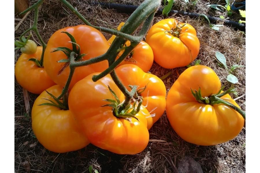 Pomidorus prisijaukino Norvegijoje