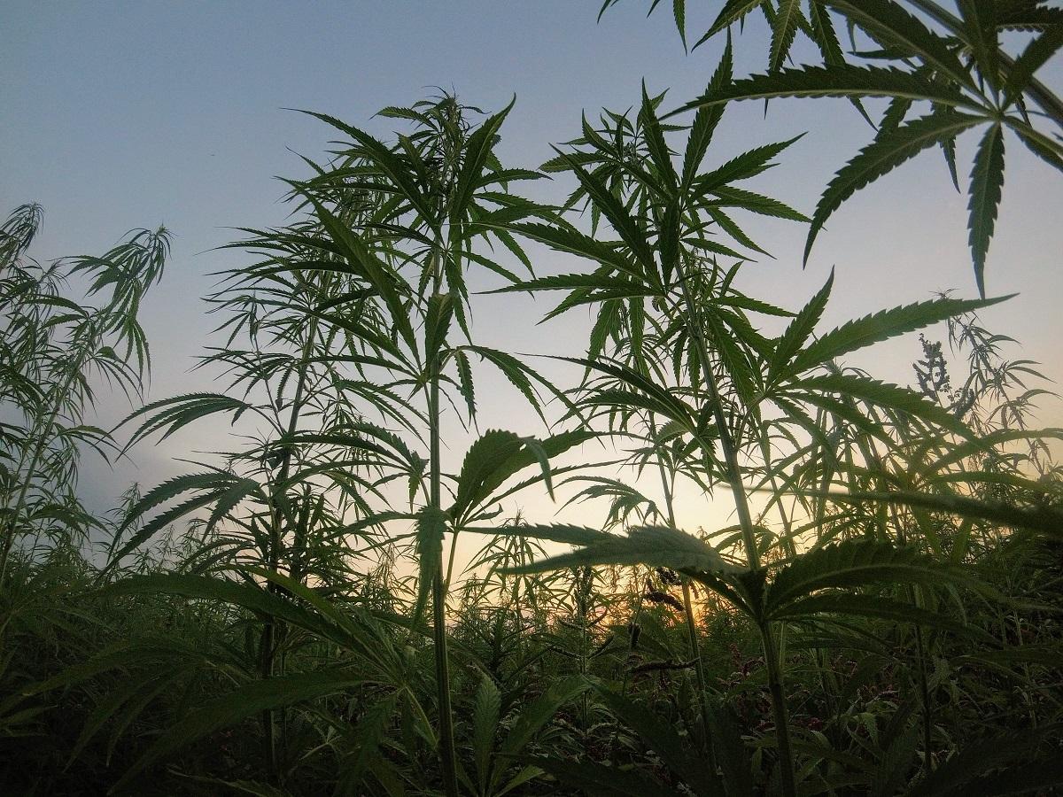 Naujoji Zelandija gali tapti vos trečia pasaulio valstybe, legalizavusia kanapes