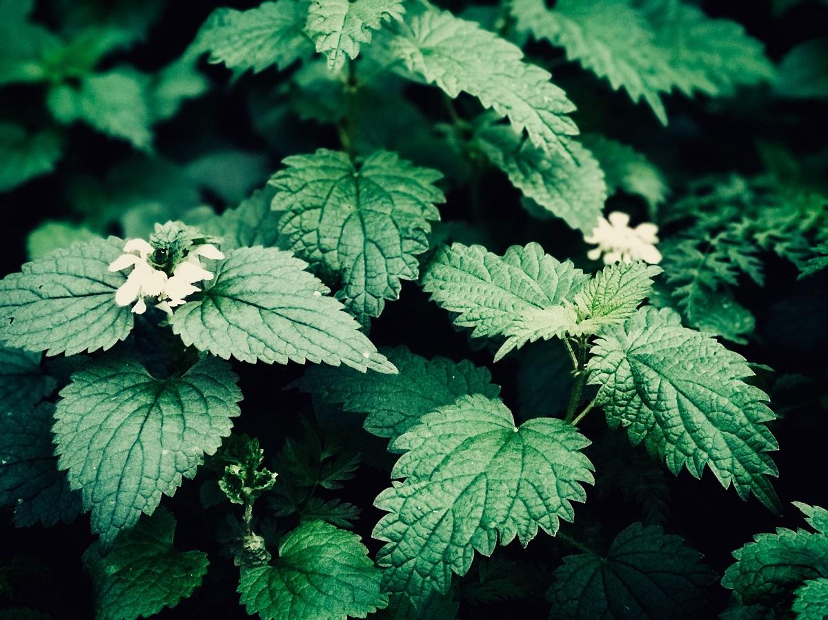 Liaudies medicina: dilgėlė ne tik dilgina
