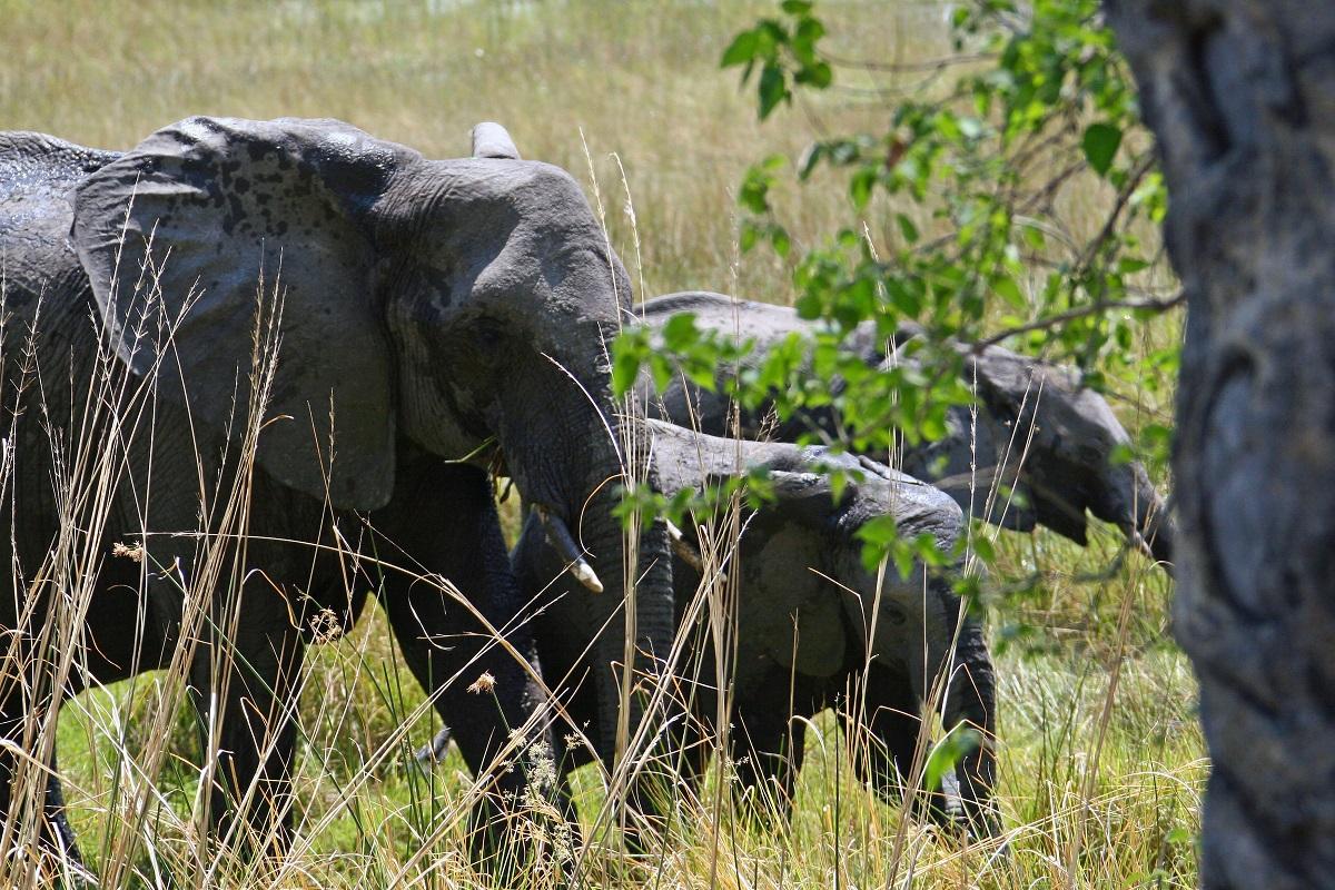Džiaugtis ar liūdėti? Bostvana atšaukė draudimą medžioti dramblius