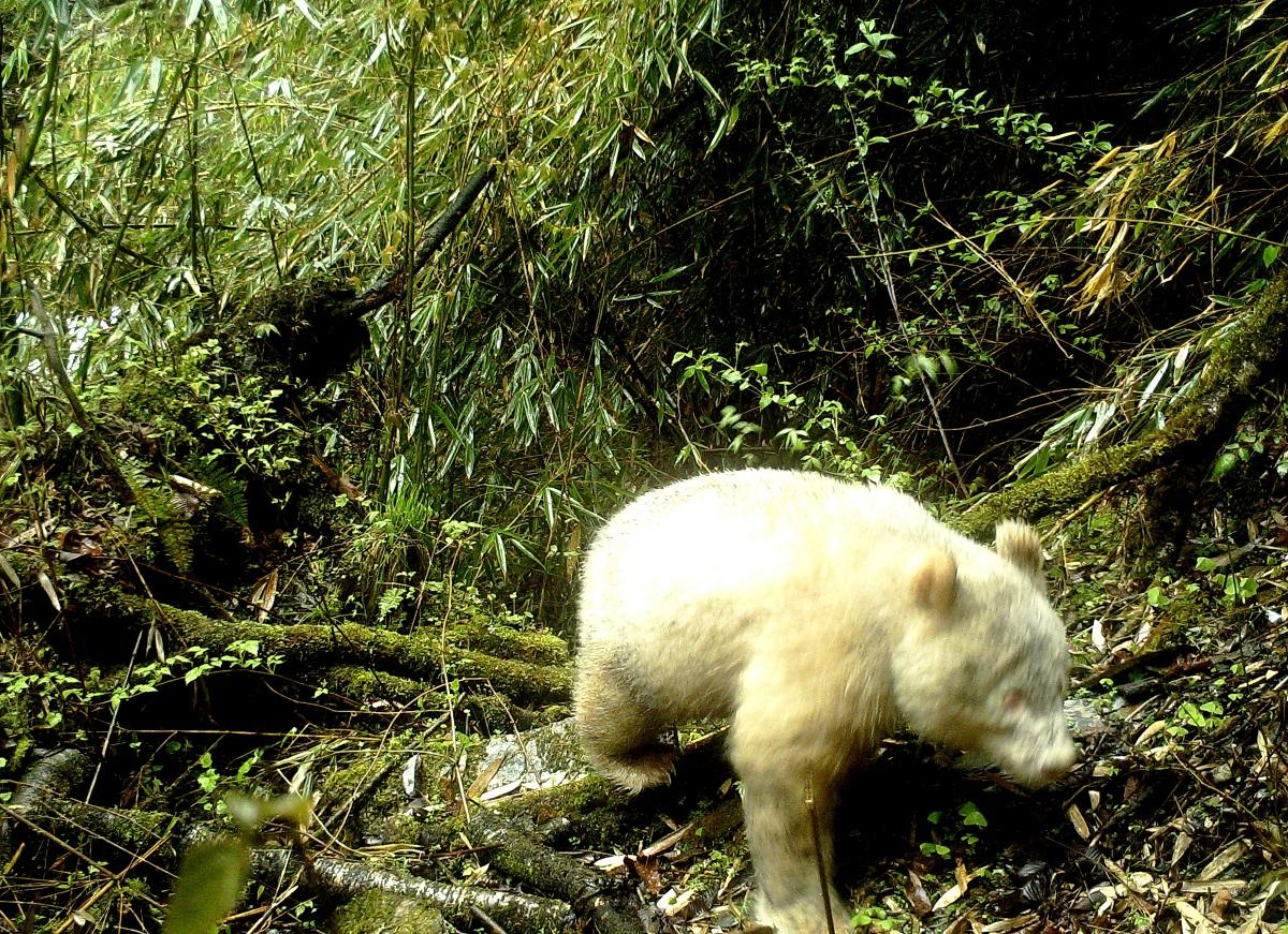 Pamatykite: Kinijos miške nufotografuota panda albinosė