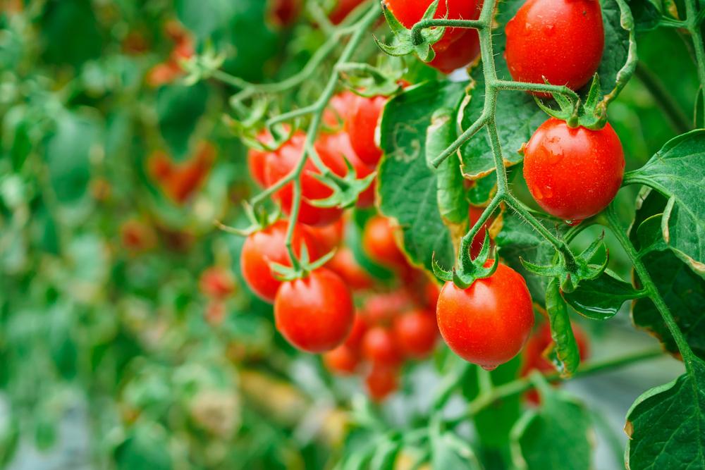 """""""Namie ir Sode"""" aktualijos: kaip elgtis su piktžolėmis, kodėl sukasi pomidorų lapai ir populiariausi klausimai apie bijūnus"""