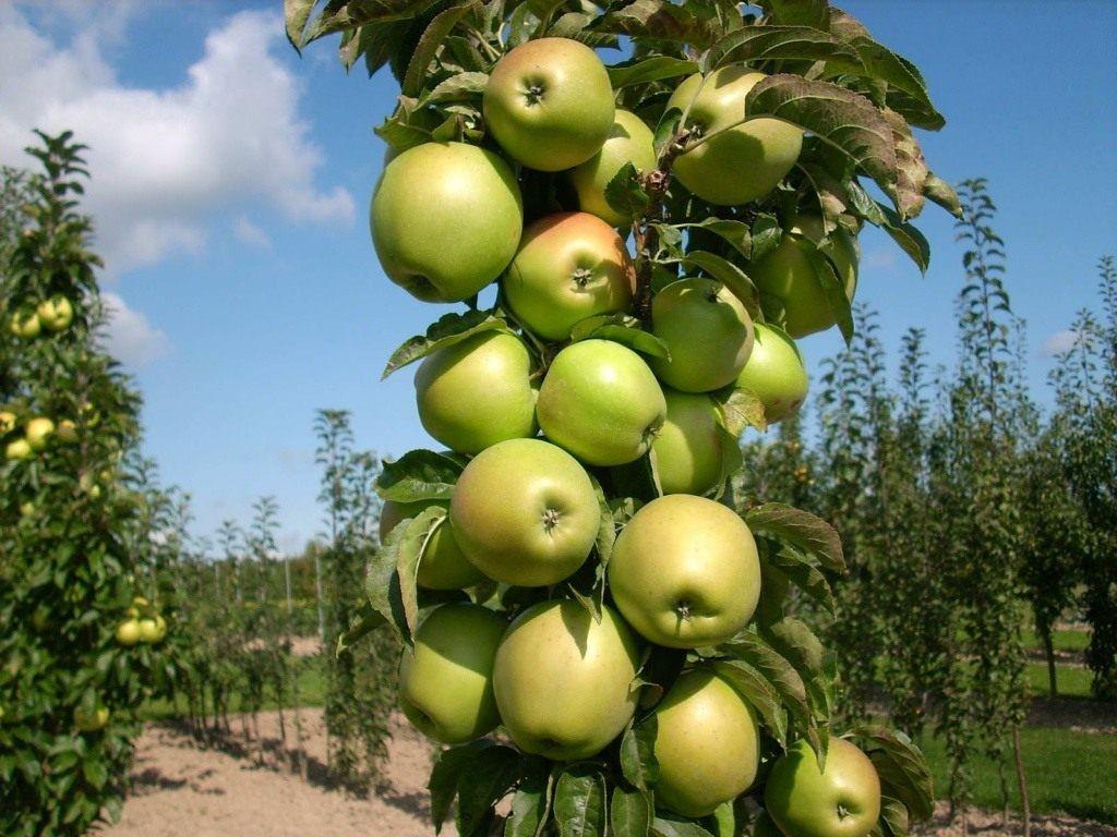 Daug vietos sode neužims: koloninės obelys