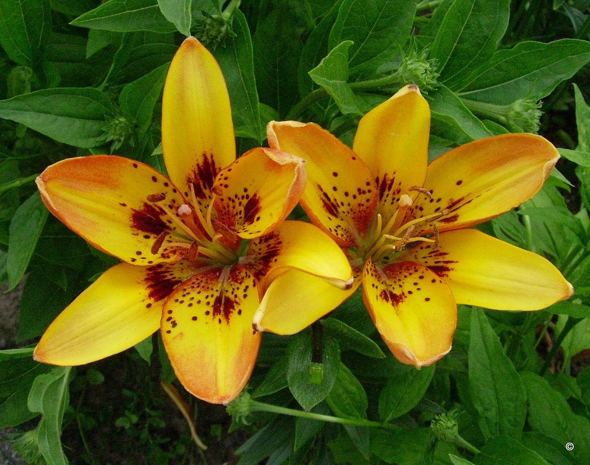 """""""Namie ir Sode"""" aktualijos: ramybę mėgstantys arbūzai, prieskoniniai augalai ir spalvingosios lelijos"""