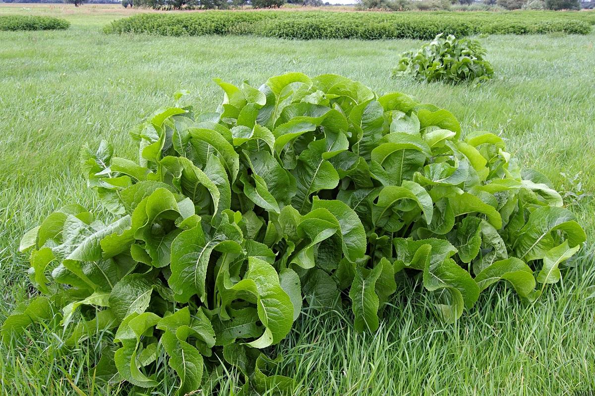 """""""Namie ir Sode"""" aktualijos: nauji augalai, pomidorų maro sukėlėjai ir kaip atsikratyti krienų"""