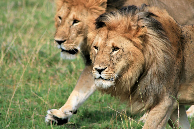 Liūtai žmogėdros iš Cavo