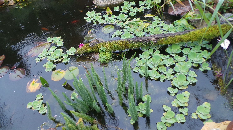 Papuoškime sodybą: dekoratyviniai vandens augalai